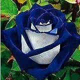 AIMADO Garten 40Stk Samen 1 Pflanze Entzückende Blume Duftende Samen wohlriechende Blüte Rosen