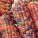 Cushy 1 LB Tierra Tonos Dent Semillas de maíz, Tonos de Oro, Bronce, Malva-Rosa, Verde, Azul Brown