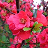 Portal Cool 1 X Chaenomeles 'Pink Lady' Giapponese Quince deciduo Hardy Arbusto pianta in Vaso