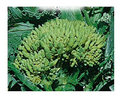 1000 c.ca semi broccoletto o cima di rapa 50° massafrese cima grossissima - brassica rapa cymosa - in confezione originale - prodotto in italia - ci002