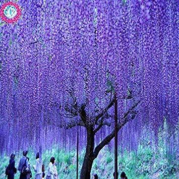 10 Samen/bag Glyzinien Samen Glyzinie Bonsai Blumensamen Baumsamen 11 Farben Glyzinien Pflanzen DIY für Hausgarten 1