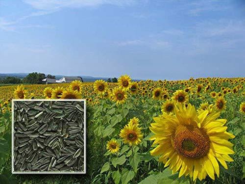 Shoopy Star Black Oil Sunflowers, wachsen die Best Vogelfutter verfügbar, VöGel lieben Diese Samen! -