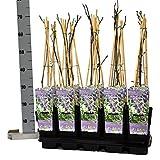 Blumen-Senf Chinesischer Blauregen Wisteria sinensis Prolific 60-70 cm / Topf Ø 15 cm / wunderschöne Kletterplanze