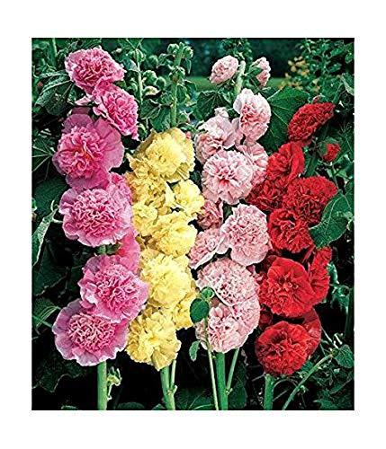 Stockrose Blumensamen Stockrose