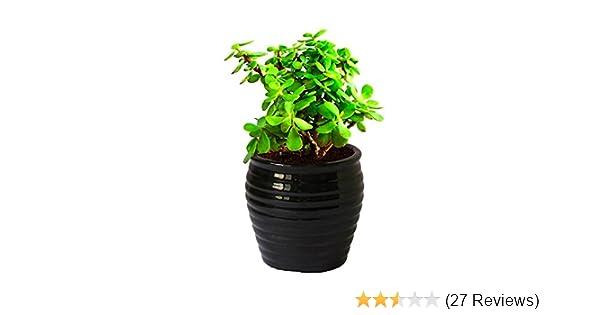 Best Hopping Bonsai Tree Bonsai Tree