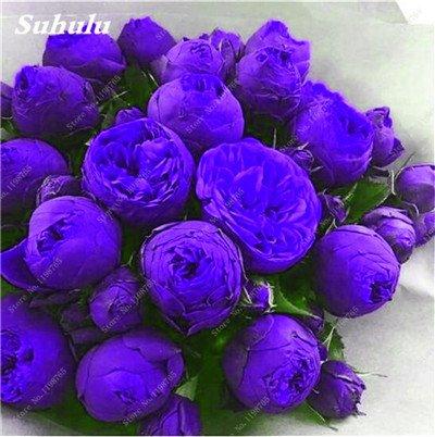 Chinese National Flower 5 graines Pcs Pivoine Plante en pot Paeonia suffruticosa Arbre Terrasse Cour Illuminez votre jardin personnel 15