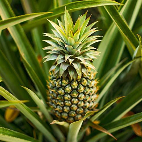 Edible Pineapple...