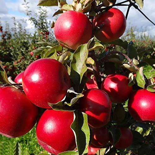 Swiftt Apfelbaum Samen Fruchtsamen Garten Qualität High Bud Rate Red Delicious Apple Samen Garten für Blumentopf