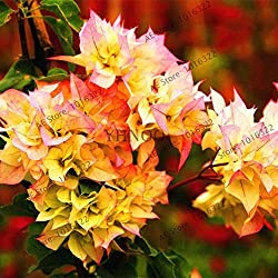 Virtue 100 Mix Farbe Bougainvillea Balkon Topf, blühende Pflanze Gartenanlage Bonsai Blume Pflanze immens auffällig: Weiß