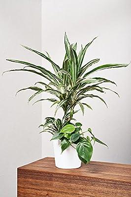 EVRGREEN | Zimmerpflanze Drachenbaum in Hydrokultur mit Topf als Set | Dracaena deremensis 'Warneckii' Arrangement von EVRGREEN bei Du und dein Garten