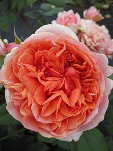 Edelrose Chippendale® - Rosa Chippendale® - Nostalgierose - dunkelorange - Duft+++