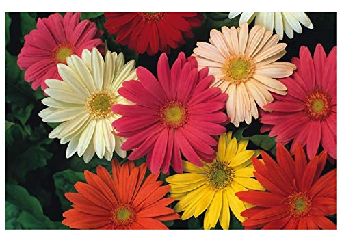 "Semi Seeds Premier Direct GBR01F Gerbera ""Jamesonii Hybrid Blend"" (confezione da 30)"