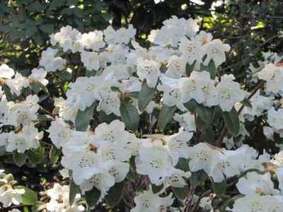 2-pack-2-litre-pot-dwarf-rhododendron-snow-lady-agm-large-white-flowers-garden-shrub