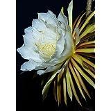 Tropica - Cactus - Reina de la Noche (Selenicerus grandiflorus) - 40 Semillas