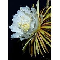Tropica - 40 semi cactus regina notte (selenicerus grandiflorus)-