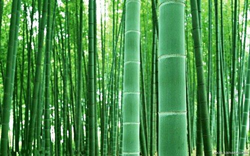 Asklepios-seeds® - 100 Moso Bambus Samen, winterharter Riesenbambus Phyllostachys pubescens, sehr schnellwachsend