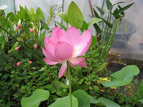 Nelumbo nucifera - Lotus sacré - 5 graines