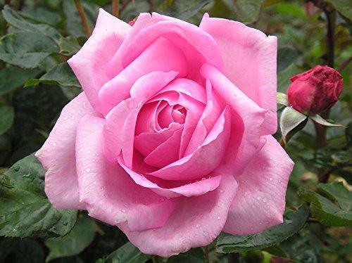 millie-4lt-potted-hybrid-tea-rose-bush-highly-fragrant-large-pink-flowers