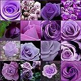 ScoutSeed COMPRAR 3 OBTENER 2 Semillas de perfume Burpee GRATUITAS 100 piezas Colores Flores de Rosa Púrpura Bonsai