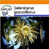 SAFLAX - Garden in the Bag - Kakteen - Königin der Nacht - 40 Samen - Selenicerus grandiflorus