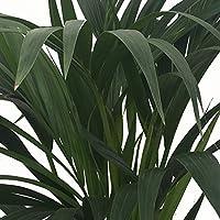Kentia - Palmera de interior - Maceta 19cm. - Altura aprox.1,10m. - Planta viva - (Envío sólo a Península)