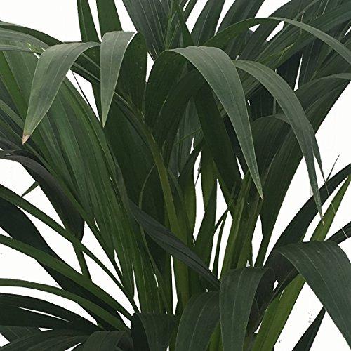 Kentia - Palmera de interior - Maceta 22cm. - Altura aprox.1,40m. - Planta viva - (Envío sólo a Península)