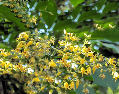 Hevea brasiliensis Para Gummi Samen Gelb Duftende Blumen Tropical Gartenarbeit (5 Samen) -