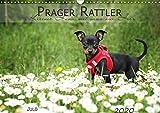 Prager Rattler (Wandkalender 2020 DIN A3 quer): Kleiner Hund mit ganz viel Herz (Monatskalender, 14 Seiten ) (CALVENDO Tiere)