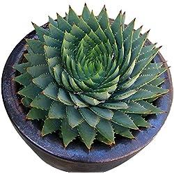 Semillas Rosepoem Cactus Verde – Cactus Aloe Suculenta (100 unidades)