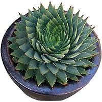 Rosepoem 100 unids / bolsa Raras Cactus Verde Semillas Variedad Exótica Floración Cactus de Color Raras Cactus Aloe Semilla Oficina Planta Suculenta Siembra