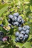Heidelbeere Strauch Bonus süß-aromatisch 30-40 cm blaues Beerenobst Gartenpflanze 1 Pflanze