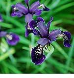 Fiore - Iris chrysographes Nero Oro - 50 Semi - Confezione Grande