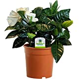 Best Mixed Indoor Plants - Gardenia Jasminoides - 1 Plant - House / Review