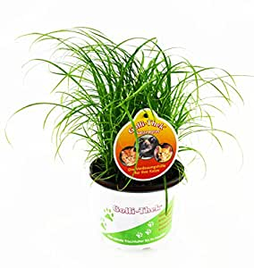 Chat plante artificielle herbe cyperus fra cheur animalerie - Herbe a chat plante ...