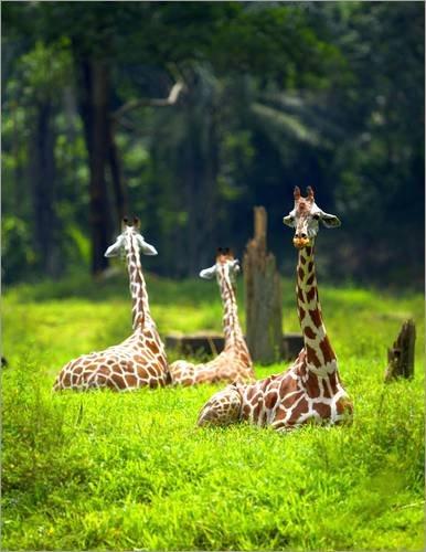 impresion-en-madera-90-x-120-cm-three-giraffe-rest-in-a-jungle-clearing-de-mervyn-dublin-national-ge