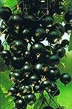 Schwarze Johannisbeere - Ribes nigrum - Silvergieters Schwarze - alte bewährte Sorte