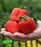 BALDUR-Garten Erdbeere 'Sweet Mary XXL', 3 Pflanzen Fragaria XXL Früchte und XXL Aroma Riesenerdbeeren
