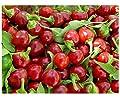 Hot Chilli Pepper - Cherry Bomb - 60 Seeds