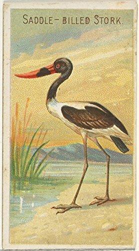 ' - Saddle-Billed Stork from The Birds of The Tropics Series (N5) for Allen & Ginter Cigarettes Brands Kunstdruck (45,72 x 60,96 cm) - Saddle-billed Stork
