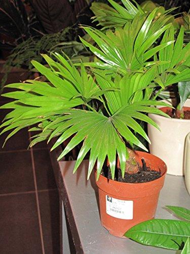 Saribus rotundifolius - Fußbank Palm - 10 Samen