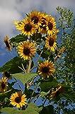 Plentree 30 semi: semi di girasole 10' alto diramazione gialle Blooms All Summer non trattati Organic