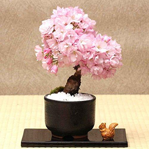 Sunlera 10pcs / bag cerasus semi in vaso bonsai Fiore Piante Semi per la casa le decorazioni del giardino