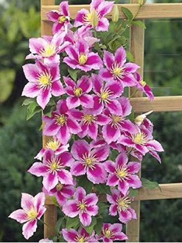 Aimado sementi giardino - raro collezione clematide rampicanti variopinte pianta rampicante rosa semi sementi fiori giardino resistenza al freddo perenne sempreverde