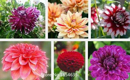 dahlia Jardin des plantes, mixte couleurs dahlia fleur, graines de dahlia - 100 pcs Fleurs semences Bonsai Seed