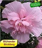 BALDUR-Garten Gefüllter Hibiskus Chiffon pink 1 Pflanze Hibiscus syriacus winterhart