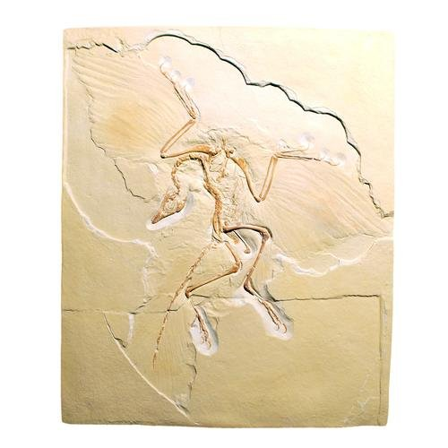 3B Scientific U75005 Archaeopteryx Lithographica Réplica