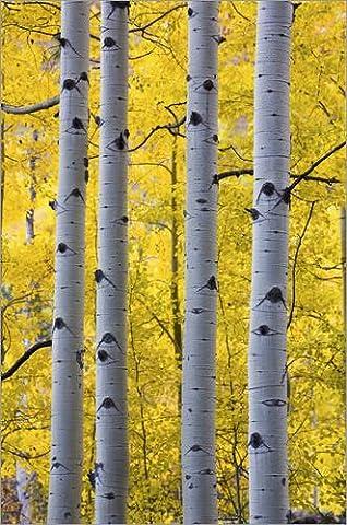 Impression sur bois 40 x 60 cm: USA, Colorado, Autumn Aspen Stand Near Yankee Boy Basin de Terry Eggers / Danita Delimont