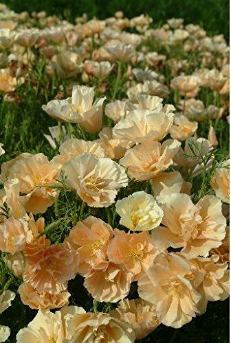Kings Seeds Bild Paket Kalifornischer Mohn Eschscholtzia Pfirsich Sorbet 150 Samen -