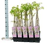 Winterharter Garten Blauregen, Japanischer Blauregen, (Wisteria sinensis), ca. 65cm hoch im 15cm Topf, (Rosa, Sorte: Wisteria floribunda rosea)