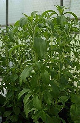 Kräuterey : Stevia Süssblatt Honigblatt - Stevia rebaudiana - 2 Pflanzen - Bioland von Kräuterey - Du und dein Garten